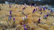 【花・見ごろ】国営武蔵丘陵森林公園のクロッカス