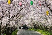 旧農業大学校跡地 桜まつり