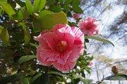 【花・見ごろ】国営武蔵丘陵森林公園 椿