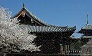 【桜・見ごろ】道成寺