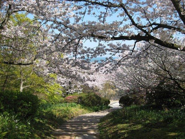 白野江植物公園の桜