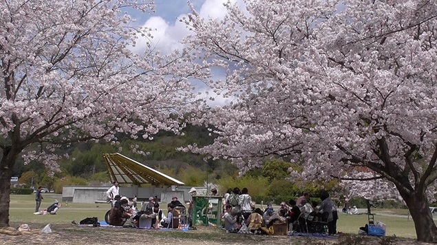 バンブー・ジョイ・ハイランドの桜