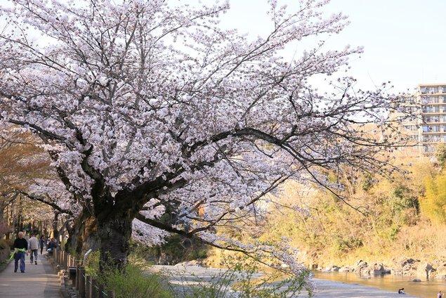 釜の淵公園の桜