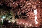 【桜・見ごろ】忠元公園