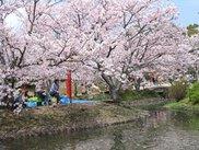 【桜・見ごろ】小城公園