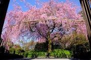 妙心寺 退蔵院「春のお食事付き特別拝観」