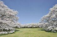 国営昭和記念公園 セルフフィットネス 春の健康お花見ウォークラリー