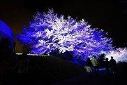 【桜・見ごろ】ときわ公園