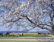 【桜・見ごろ】平城宮跡