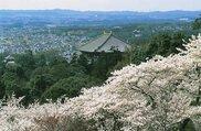 【桜・見ごろ】奈良公園