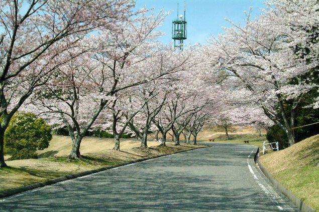 つま恋リゾート彩の郷(さいのさと)の桜