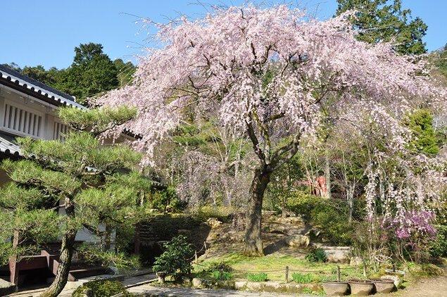 常寂光寺の桜