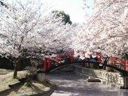 【桜・見ごろ】朝日山森林公園