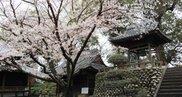 【桜・見ごろ】無量寿院