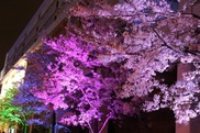 SAKURA ILLUMINATION
