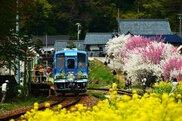 【花・見ごろ】JR勝原駅付近の花桃