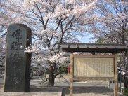 【桜・見ごろ】金屋河川敷公園