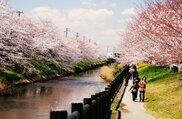 【桜・見ごろ】矢那川・矢那川公園