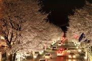 """さつき大通り """"美しすぎる桜並木""""ライトアップ"""