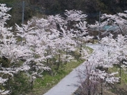 【桜・見ごろ】花の渡良瀬公園