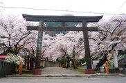 【桜・見ごろ】鬼怒川護国神社