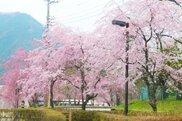 【桜・見ごろ】鬼怒川公園のしだれざくら