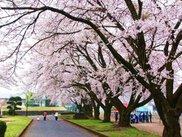 【桜・見ごろ】今市運動公園の桜並木