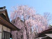 【桜・見ごろ】法蔵寺のしだれざくら