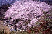 広島市植物公園 さくらまつり