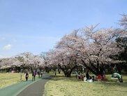 【桜・見ごろ】所沢航空記念公園