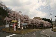【桜・見ごろ】大股桜公園