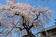 【桜・見ごろ】金仙寺(こんせんじ)のしだれ桜