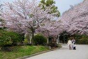 冠山総合公園 さくら坂in2018