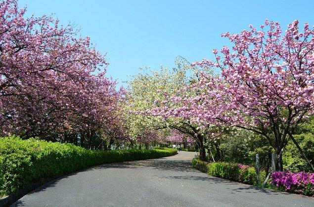 引揚記念公園の桜