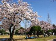【桜・見ごろ】行徳駅前公園