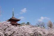 【桜・見ごろ】中山法華経寺