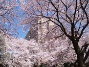 【桜・見ごろ】里見公園分園