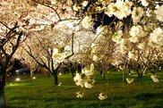 元離宮二条城(桜の園)