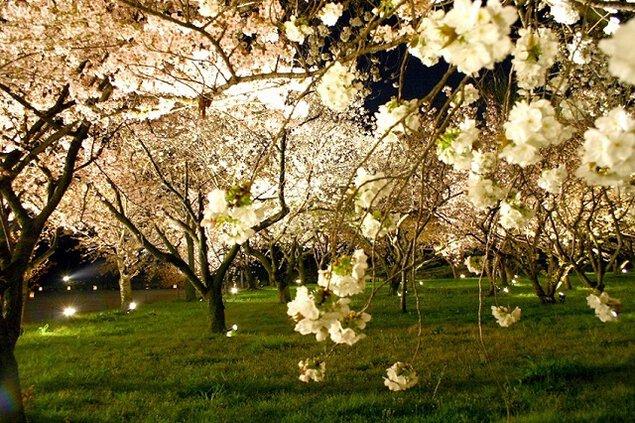 【桜・見頃】元離宮二条城(桜の園)