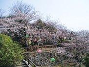 【桜・見ごろ】新宮城跡