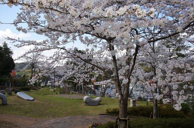 共楽公園の桜