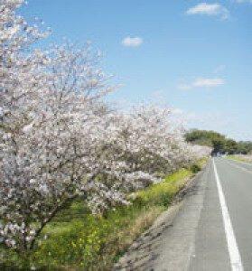 【桜・見ごろ】千間土居公園