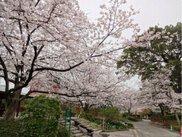 石橋文化センター春の花まつり2018 SAKURAまつり