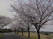 【桜・見ごろ】久留米百年公園