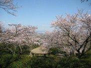 【桜・見ごろ】発心公園