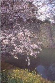 【桜・見ごろ】久留米城跡