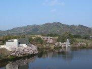 【桜・見ごろ】通谷池公園