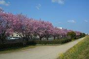 【桜・見ごろ】赤坂泉公園