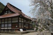 【桜・見ごろ】鳳源寺の枝垂桜