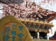耕三寺・耕三寺博物館「桜まつり」